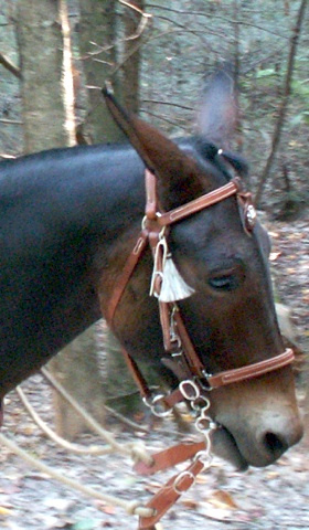 mammoth mule over the ear headstall